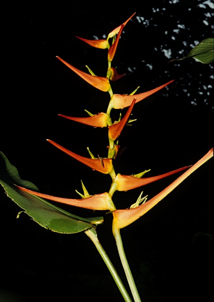 File:Heliconia LS.jpg
