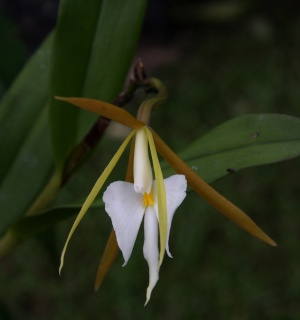 Epidendrum flower.
