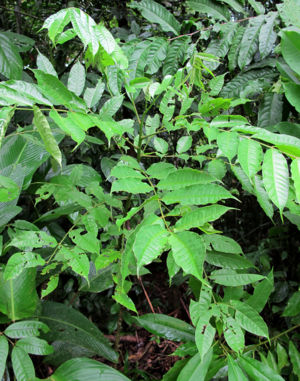 Spondias radlkoferi has pinnate leaves with an odd number of leaflets (imparipinnate) each with an elongated drip tip.