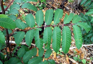 Spondias mombin – imparipinnate leaves with red color on rachis.