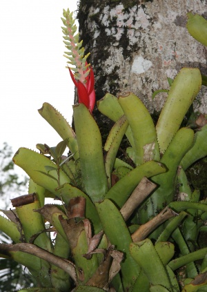 Achmea nudicaulis is a member of the subfamily Bromeliodeae with spiny leaf margins.
