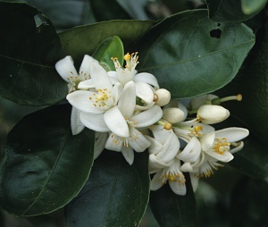 Citrus in bloom showing crenate leaf margins.
