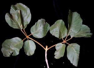 Tabebuia species with opposite palmately compound leaves.