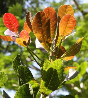 Anacardium occidentale (Cashew) - simple leaves with red color in young leaves.