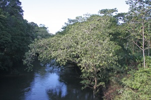 "Ficus insipida, known locally as ""Chilamate,"" grows along river banks.  Its fruits are readily consumed and seeds dispersed by machaca fish.  The trees overhanging rivers have drooping tops due to the almost constant presence of iguanas sunning on the upper branches."