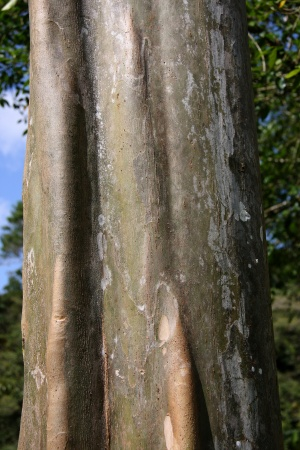 Smooth bark of Terminalia oblonga.