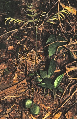 Pentaclethra seedlings are common on the forest floor at La Selva.