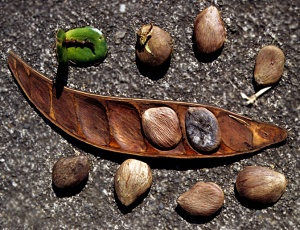 Open fruit and seeds of Pentaclethra.