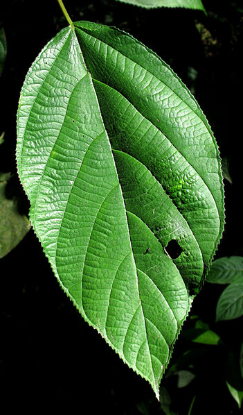 File:Serrate leaf 2013 1.jpg