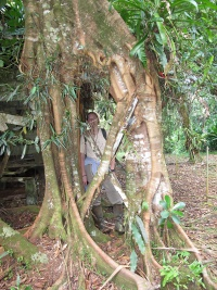 "A strangler fig once grew over a small shed outisde ""Casa Rafael.""  The shed has since decayed, leaving behind a small room within the roots of the tree!"