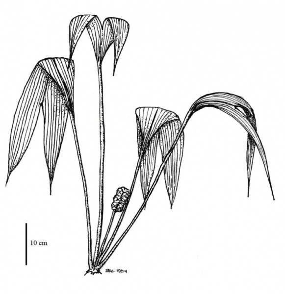 File:Cyclanthaceae.jpg