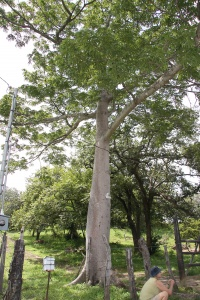 Medium-sized Ceiba pentandra tree in cattle pasture showing swollen trunk and some spines, but lacking buttress.