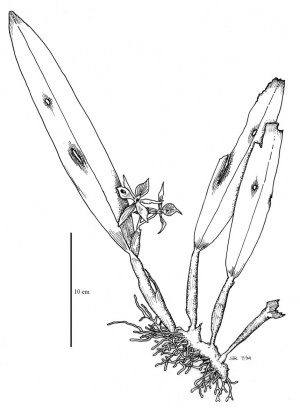 Epidendrum fragans Sw., an epiphyte in the Orchidaceae. Note the fine parallel veins, the swollen pseudobulbs at the leaf bases, and the thick, stocky roots. Una epífita. Note las venas finamente paralelas, los pseudobulbos hinchados en la base de las hojas, y los raices gruesas.
