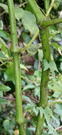 Piper sancti-felicis stem with swollen nodes and sheathing petioles.
